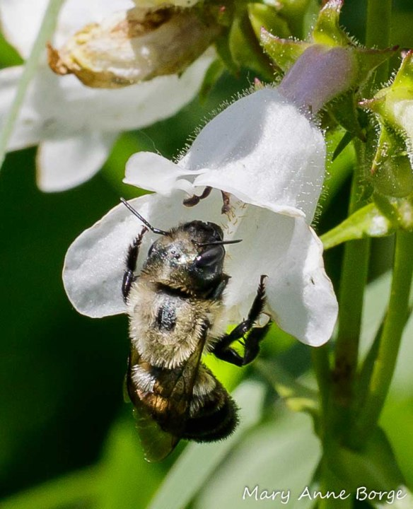 Bufflehead Mason Bee (Osmia bucephala) on White Beardtongue (Penstemon digitalis)
