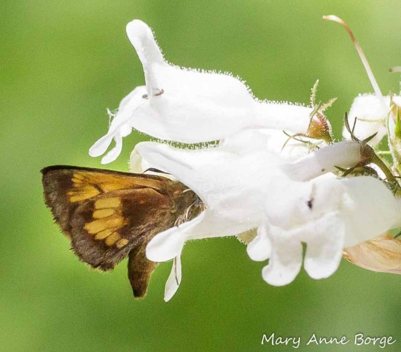 Hobomok Skipper butterfly visiting White Beardtongue (Penstemon digitalis) for nectar. It may be just the right size to pick up or deliver pollen on its head.
