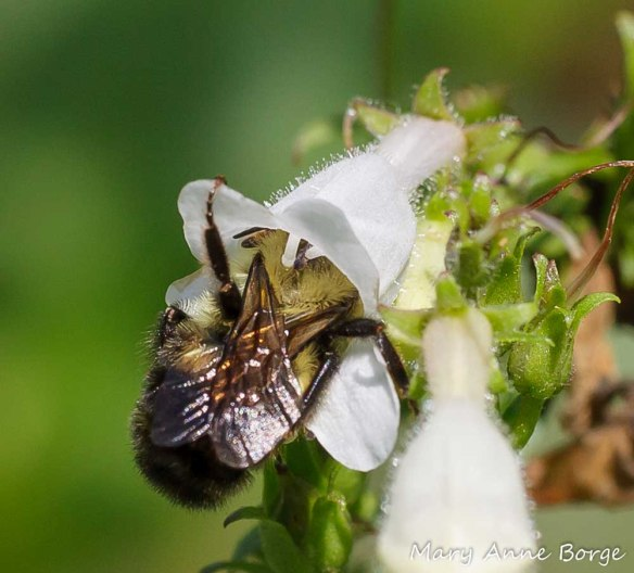 Bumble Bee depositing pollen on stigma of a White Beardtongue (Penstemon digitalis) in the female phase.