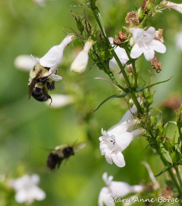 Bumble Bee on White Beardtongue (Penstemon digitalis).