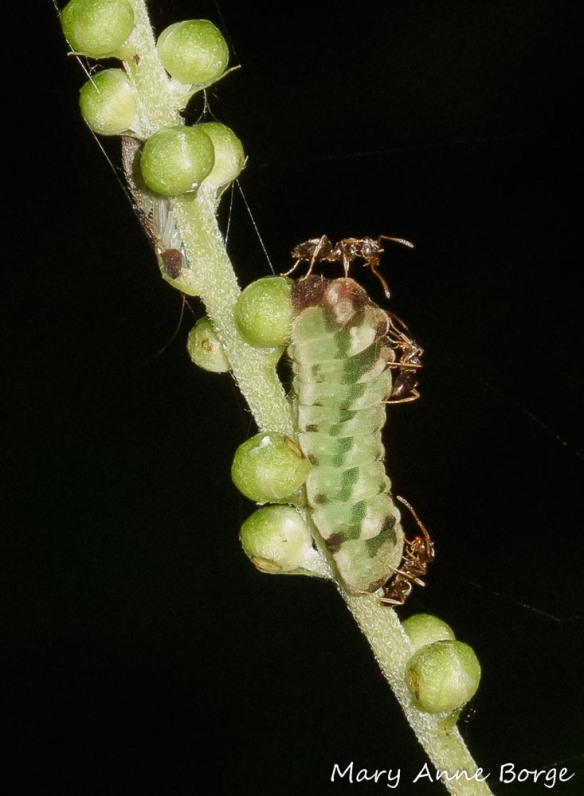 Appalachian Azure caterpillar being tended by ants, on Black Cohosh (Actaea racemosa) flower buds