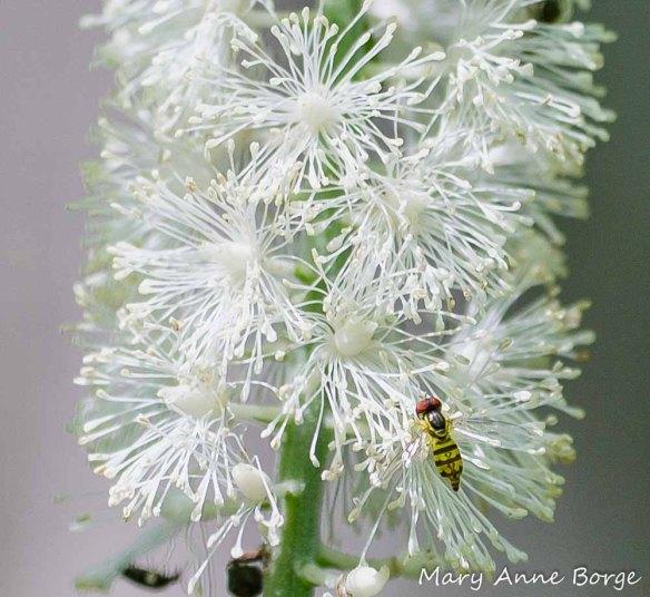 Black Cohosh (Actaea racemosa, syn. Cimicifuga racemosa) with Flower Fly (Toxomerus geminatus)