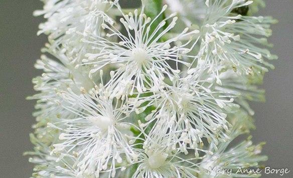 Black Cohosh (Actaea racemosa, syn. Cimicifuga racemosa) flowers