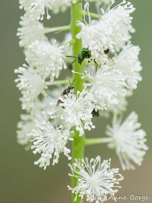 Black Cohosh (Actaea racemosa, syn. Cimicifuga racemosa) with Sweat bee (Haictidae)