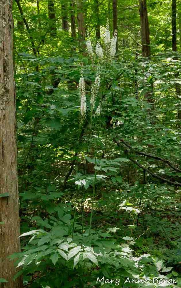 Black Cohosh (Actaea racemosa, syn. Cimicifuga racemosa)