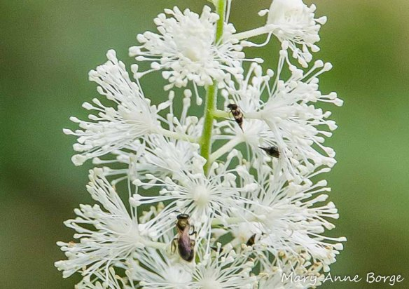 Black Cohosh (Actaea racemosa, syn. Cimicifuga racemosa) with Tumbling Flower Beetle (Falsomordellistena pubescens) in upper right