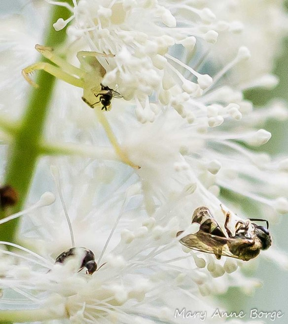 Crab Spider with a fly victim (upper left), bee and Tumbling Flower Beetle on Black Cohosh (Actaea racemosa, syn. Cimicifuga racemosa)