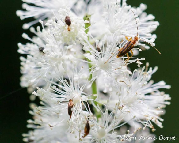Black Cohosh (Actaea racemosa, syn. Cimicifuga racemosa) with Longhorn Beetle (Metacmaeops vittata), upper right, and Tumbling Flower Beetles (Mordellistena fuscipennis)