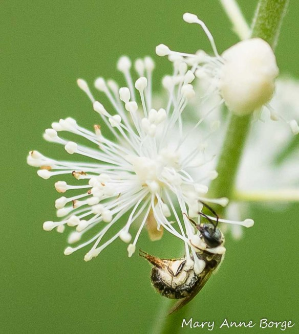 Black Cohosh (Actaea racemosa, syn. Cimicifuga racemosa) with Leafcutter bee (Megachile species)