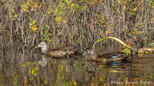 Wood Duck pair in non-breeding plumage. (Female left, male right.)