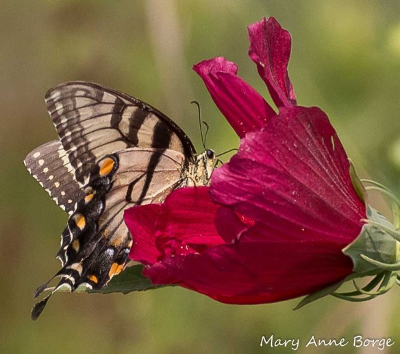 Eastern Tiger Swallowtail butterfly nectaring at Swamp Rose Mallow (Hibiscus moscheutos)