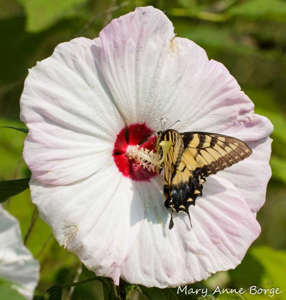 Eastern Tiger Swallowtail nectaring at Swamp Rose Mallow (Hibiscus moscheutos). The butterfly's wings and body brush against the anthers, picking up pollen.