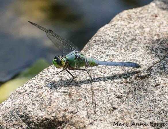 Male Eastern Pondhawk, perching