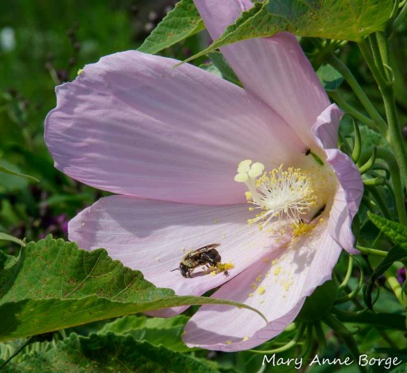 Bee and Hibiscus Seed Beetles (Althaeus hibisci) scavenging for pollen that has fallen onto the petals of a Swamp Rose Mallow (Hibiscus moscheutos) flower.