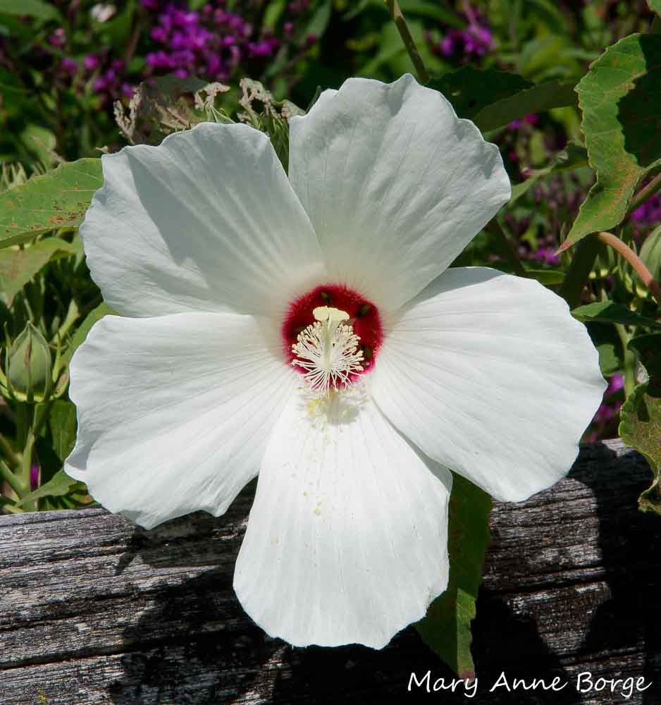 Swamp rose mallow for bees butterflies beetles birds and beauty swamp rose mallow hibiscus moscheutos izmirmasajfo Choice Image