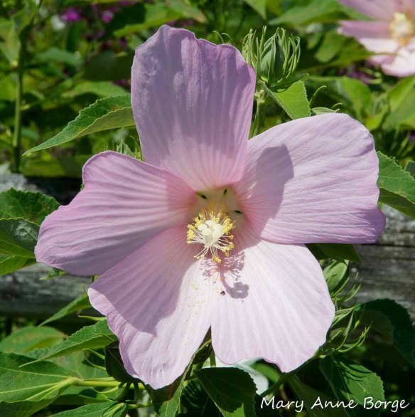 Swamp Rose Mallow (Hibiscus moscheutos)