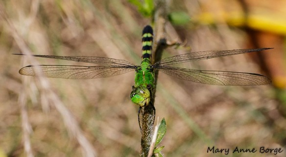 "Female Eastern Pondhawk, ""Whoa, I see a moth! Lunch!"""