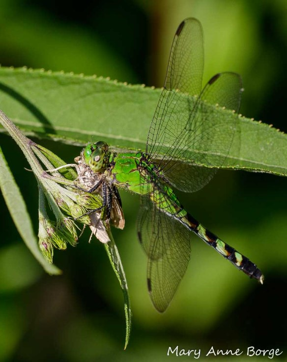 "Female Eastern Pondhawk, with moth. ""Delicious!"""