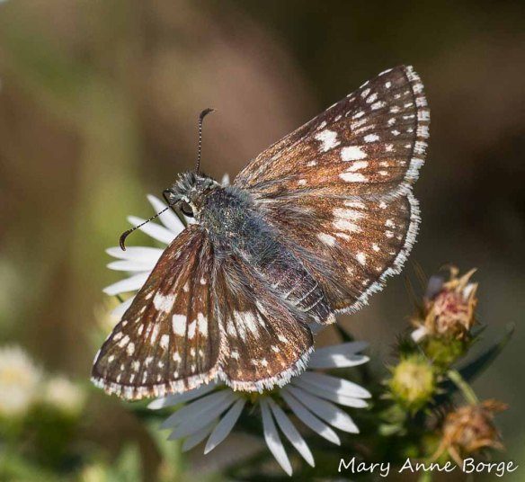 Common Checkered-skipper on aster. The caterpillars of the Common Checkered-skipper butterfly have evolved to eat plants from the Mallow (Malvaceae) family.
