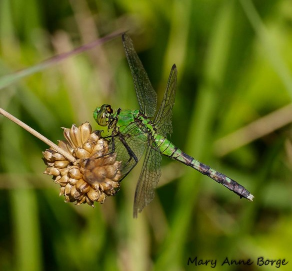 Female Eastern Pondhawk, perching