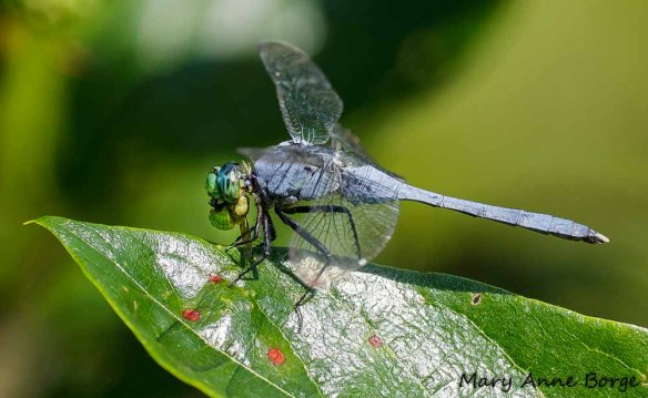 "Male Eastern Pondhawk with insect. ""Yum! This little critter didn't have a chance."""