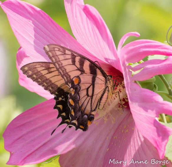Eastern Tiger Swallowtail nectaring at Swamp Rose Mallow (Hibiscus moscheutos). The butterfly's wings and body brush against the flower's stigmas, depositing pollen, then against the anthers, picking up pollen.