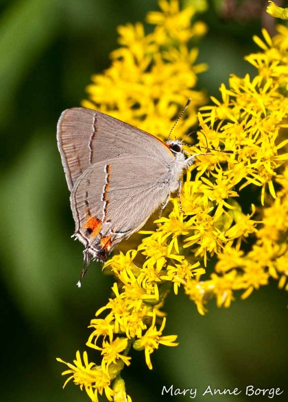 Gray Hairstreak on goldenrod. The caterpillars of the Gray Hairstreak butterfly eat the foliage of members of the Mallow (Malvaceae) and Pea (Fabaceae) families, as well as some other plants.