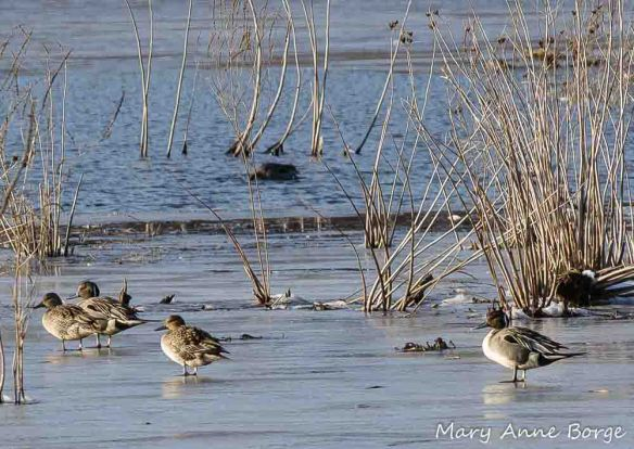 Northern Pintails with Swamp Rose Mallow (Hibiscus moscheutos) in winter