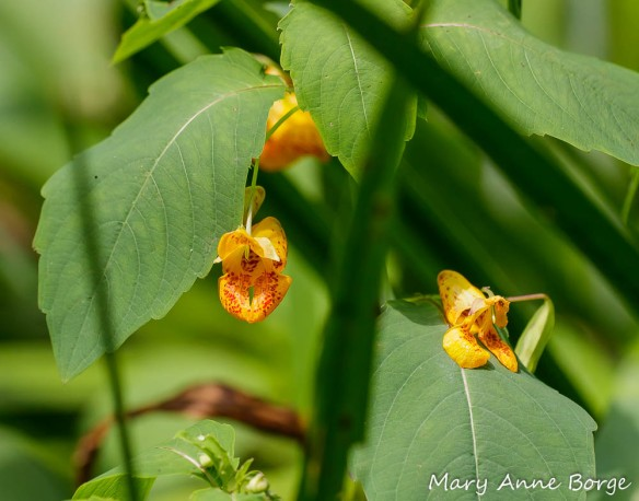 Jewelweed or Spotted Touch-me-not (Impatiens capensis)