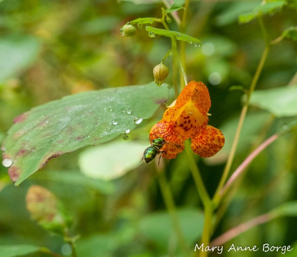 Jewelweed (Impatiens capensis) with Sweat Bee (Halictid species). Notice the jewel-like drops and silvery sheen of water on the leaves.