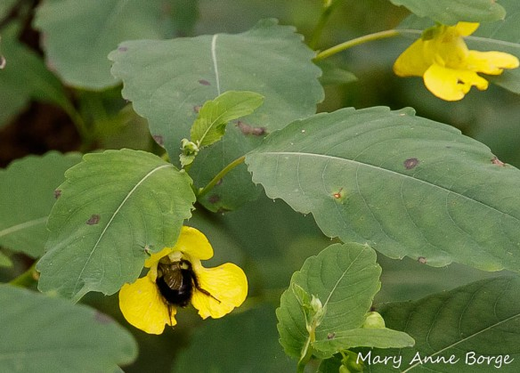 Pale Jewelweed (Impatiens pallida) with Bumble Bee (Bombus species) with back brushing stamens as it enters the flower, at Morrisville Riverfront Preserve, Morrisville, PA