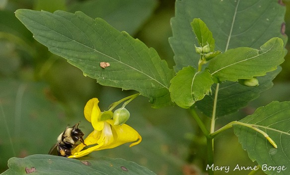 Pale Jewelweed (Impatiens pallida) with Bumble Bee (Bombus species), at Morrisville Riverfront Preserve, Morrisville, PA