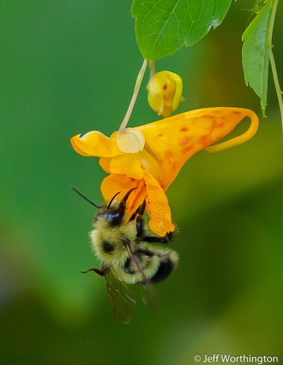 Jewelweed (Impatiens capensis) with Bumble Bee (Bombus species)