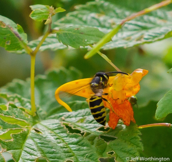 Jewelweed (Impatiens capensis) with Yellowjacket