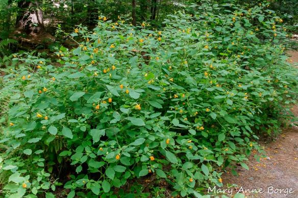 Jewelweed (Impatiens capensis ) at Wiessner Woods, Stowe, Vermont