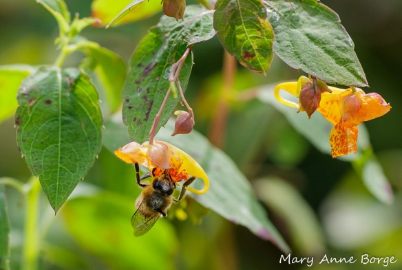 Jewelweed (Impatiens capensis) with Honey Bee