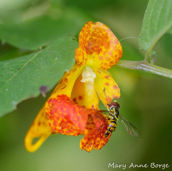 Jewelweed (Impatiens capensis) with Flower Fly (Syrphid species)