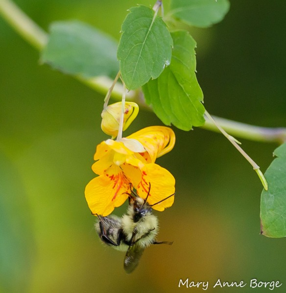 Jewelweed (Impatiens capensis) with Yellow Bumble Bee (Bombus fervidus)