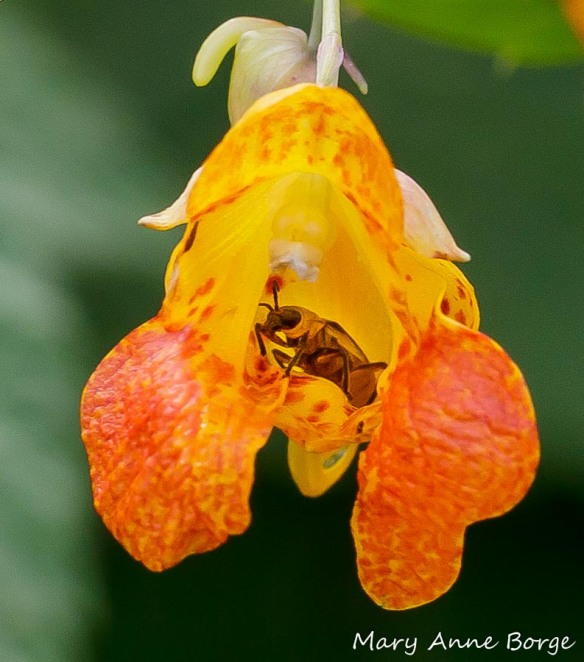 Jewelweed (Impatiens capensis) with beetle, probably Spotted Cucumber Beetle