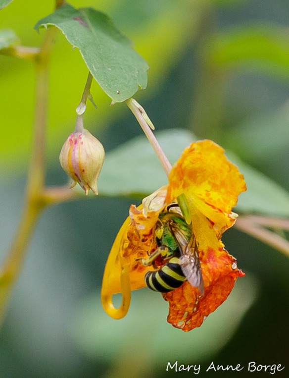 Jewelweed (Impatiens capensis) with Sweat Bee (Agapostemon species)