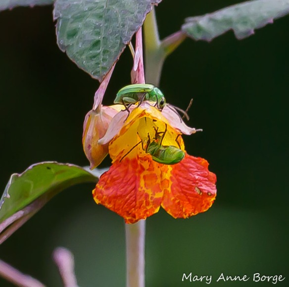 Jewelweed (Impatiens capensis) with Northern Corn Rootworm Beetles