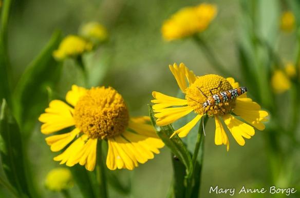 Ailanthus Webworm Moth on Sneezeweed (Helenium autumnale)
