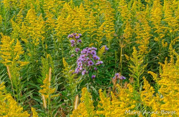 Goldenrods and New England Asters (Symphyotrichum novae-angliae) are Aster (Asteraceae) family members