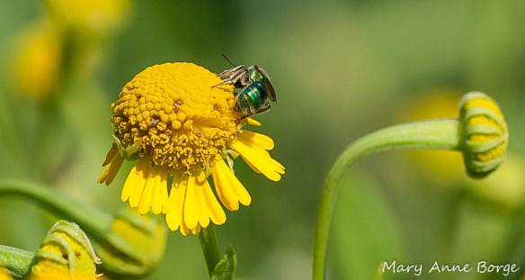 Sweat Bee on Sneezeweed (Helenium autumnale)