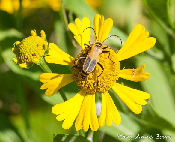A soldier beetle, Pennsylvania Leatherwing (Chauliognathus pensylvanicus) on Sneezeweed (Helenium autumnale)