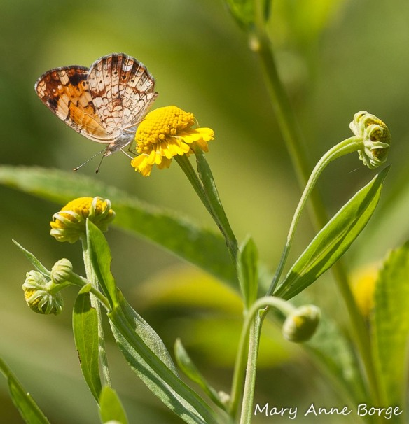 Pearl Crescent on Sneezeweed (Helenium autumnale)
