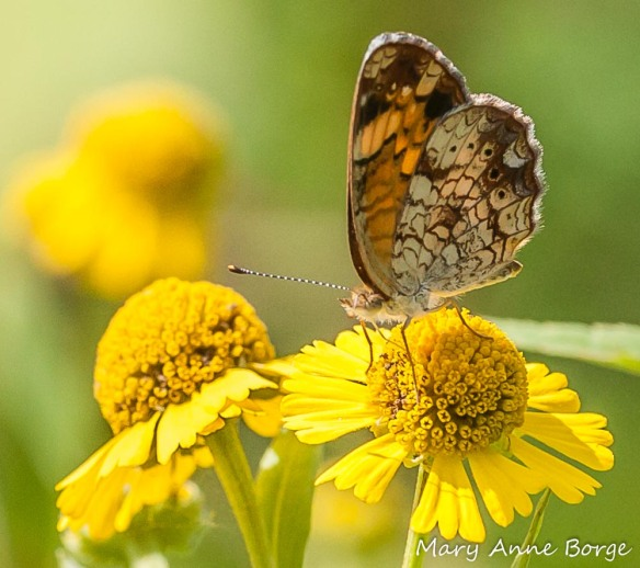 Pearl Crescent drinking nectar from the disk flowers of a Sneezeweed (Helenium autumnale) flower head (inflorescence). The petal-like floral structures are ray flowers.