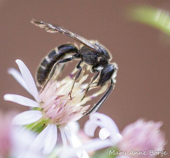Sweat Bee (Halictus species) with Blue Wood Aster (Symphyotrichum cordifolium)