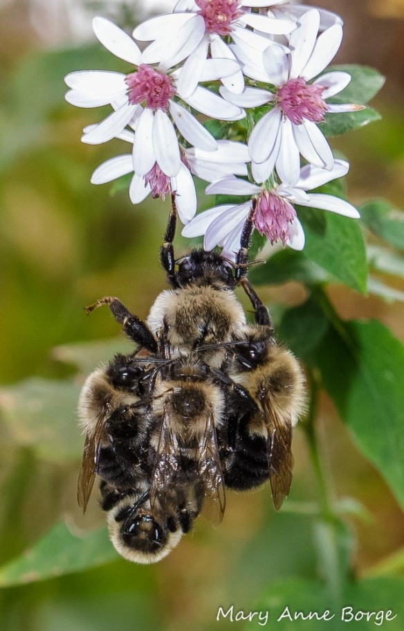 Bumble Bees (probably Common Eastern Bumble Bees (Bombus impatiens)) on Blue Wood Aster (Symphyotrichum cordifolium)