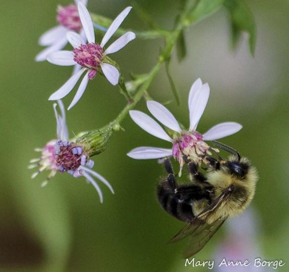 Bumble Bee (Bombus species) drinking nectar from Blue Wood Aster (Symphyotrichum cordifolium)